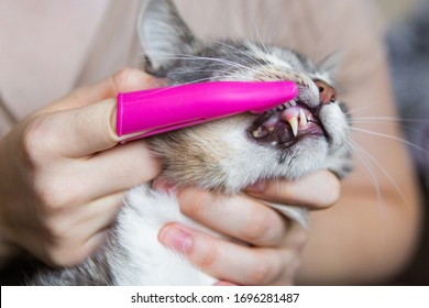 Teeth brushing a cat with a pink brush, gray cat close-up