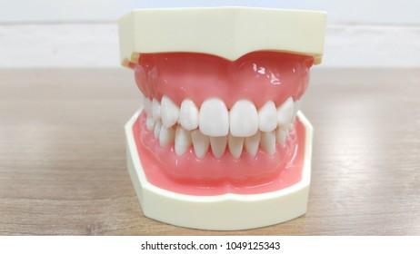 teeth and jaw anatomy model