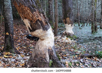The teeth marks of the beaver, tree gnawed by beavers, close up