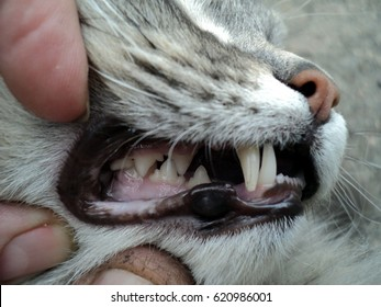 the teeth in the mouth of a cat, correct bite teeth