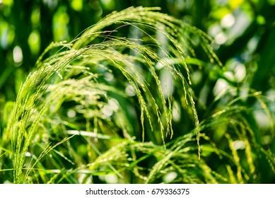 tef cereal - eragrostis tef - botany and botanical backgrounds
