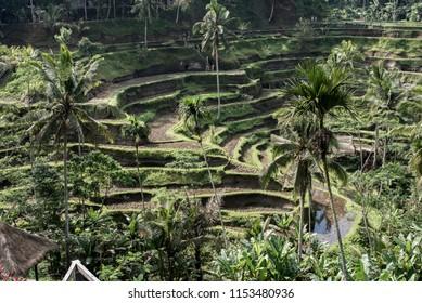 Tegalalang Rice Terrace - Bali - Indonesia