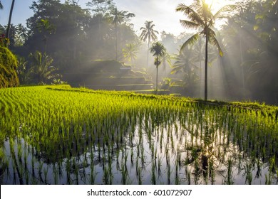 Tegalalang rice terrace fields at dawn, Indonesia. Soft focus landscape with palm trees in morning light. Sunrise time on Bali