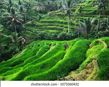 Tegallalang Rice Terrace - Ubud - Bali - Indonesia