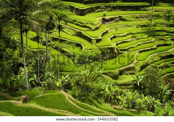 Tegallalang, Ubud, Bali. The most dramatic and spectacular rice terraces in Bali can be seen near the village of Tegallalang.