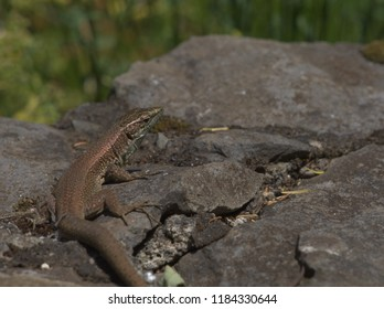 Teira Dugesii lizard takes a sunbath on the rocks with a green background