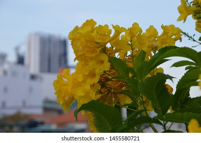 Tekoma Kampsis. Flowers of Vietnam. Yellow large delicate flower. Campsis big-flowered