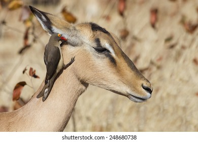 I tell you a secret - Red-billed oxpecker, Impala (Buphagus eryt