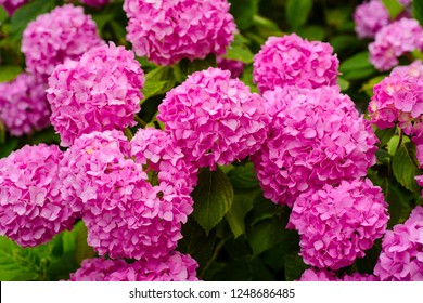 A telltale sign of summer. Hydrangea blossom on sunny day. Blossoming flowers in summer garden. Flowering hortensia plant. Pink hydrangea in full bloom. Showy flowers in summer.