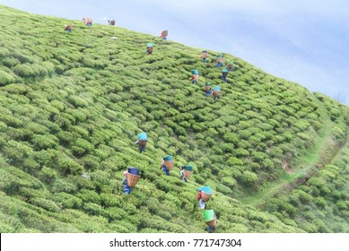 Temi Tea Garden grown at gradually slope of Tendong Hill and only tea plantation in Sikkim.