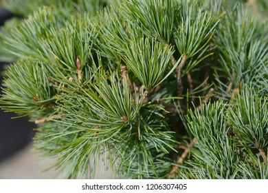 Tempelhof Japanese White Pine - Latin name - Pinus parviflora Tempelhof