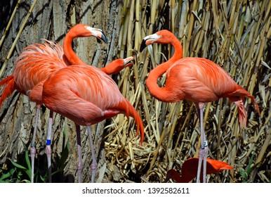 Temperamental and flashy Caribbean Flamingos