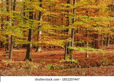 Temperate, deciduous forest with common beeches (Fagus sylvatica) in fall foliage in Grosshansdorf, Schleswig-Holstein, Germany. Autumn landscape in November.