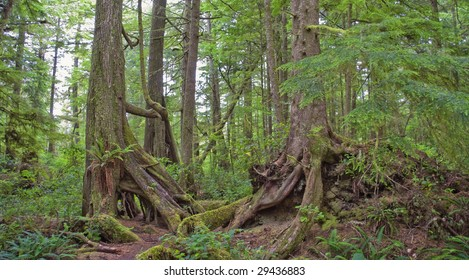 Temperate Rainforest on the Pacific Coast, Canada