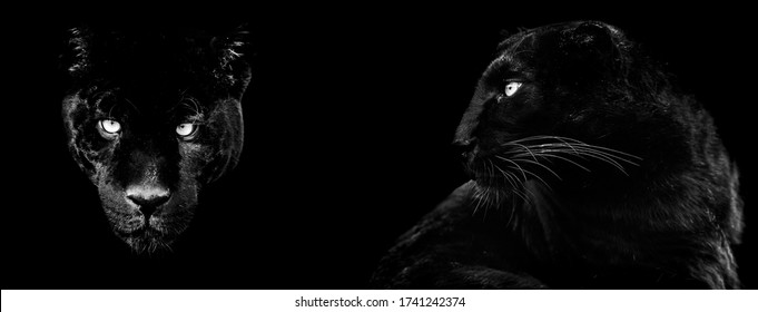 Template of black panther in B&W with black background
