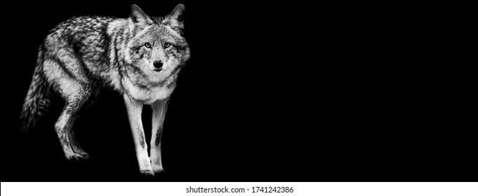 Template of coyote in B&W with black background
