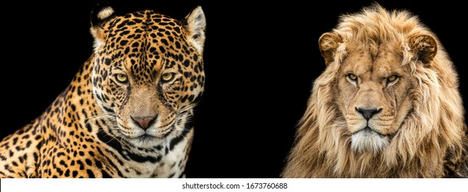 Template of Lion and jaguar with a black background