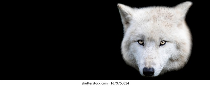 Template of white wolf with a black background