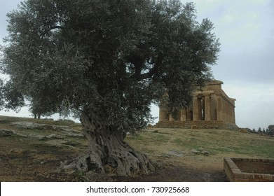 The Temple of Concordia hiding behind an enormous olive tree