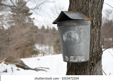 Temple, N.H., USA - March 24, 2018: A vintage sap bucket on a maple tree. These old buckets were used to collect sap, which farmers boiled down to make maple syrup.