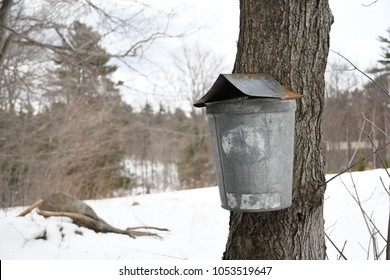 Temple, N.H./USA - March 24, 2018: An old, metal sap bucket hung on a maple tree. These buckets were once used to collect sap for making maple syrup.