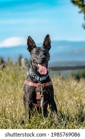 A ten month old puppy wearing. a pink harness and a blue collar poses for a picture. Mt St Helens visible in background. Pit Bull, German Shepherd, Boxer, Bulldog, Siberian Husky, Rottweiler Mix.