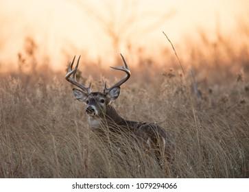 Ten Point White Tail at sunrise 6, Quivira National Wildlife Refuge