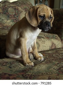ten week old puggle puppy