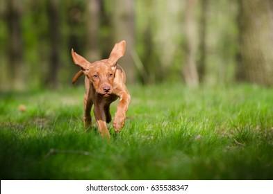 Ten week old puppy of vizsla dog running in the forrest in sprin