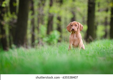 Ten week old puppy of vizsla dog in the forrest in spring time
