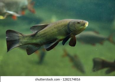Tench (Tinca tinca), also known as the doctor fish.
