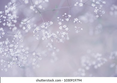 Tender airy bloom of the tine white Gypsophila flowers in the spring garden. Light purple toning for dreamy appearance.