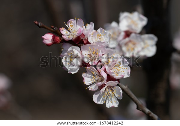 tender-apricot-tree-inflorescences-early