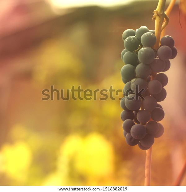 Tender autumn background with a branch of blue grapes. Rural seasonal scene with soft focus and yellow and red color.