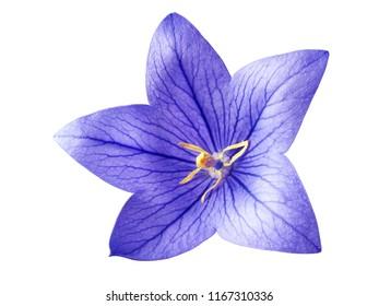 tender bright bluebell flower isolated on white background