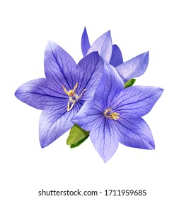 tender bright bluebell flowers isolated on white background