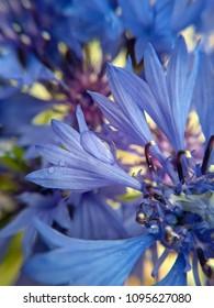 tender flower cornflower. A drop of water on a petal close up.  spring bouquet of cornflowers. Pistils and stamens of a tender cornflower close-up. Bright blue bouquet of cornflowers