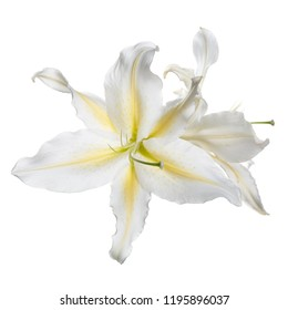 Tender flower of white-yellow lily isolated.