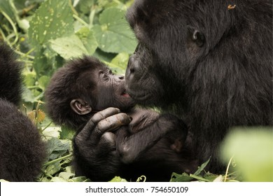 Tender gorilla mother and baby