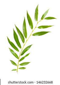 A tender green Weeping Willow leaf isolated on white background