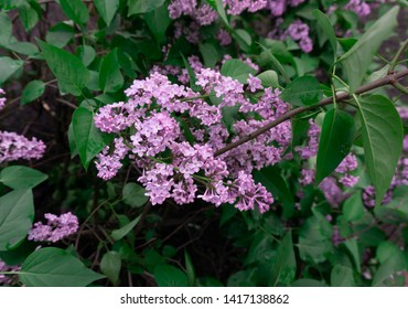 Tender lilac flowers background. Lilac or Suringa is a flowering woody plant. Lilac flowering. Floral texture. Flowering lilac bush pattern.