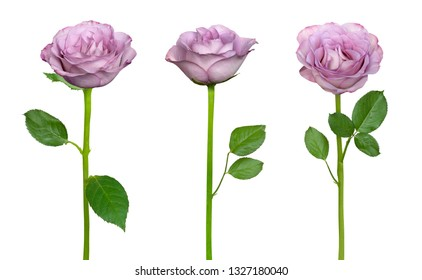 Tender lilac roses isolated on a white background