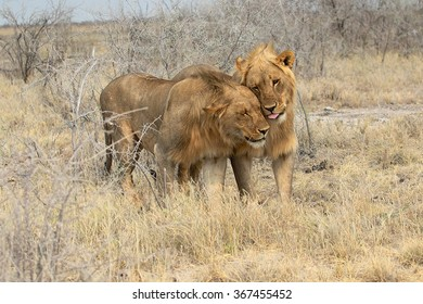 tender lions at etosha