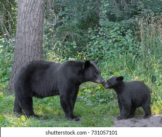 Tender moment between a black bear mother and her cub.