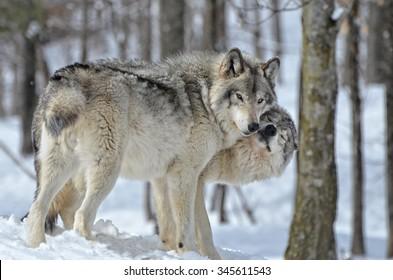 Tender moment between male and female Timber Wolves in snow covered forest.