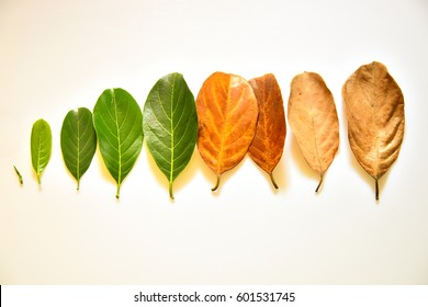 Tender to old leaves arranged sequentially - concept of life and aging. Phases of life - childhood, adolescence, adulthood and old age. Health of skin and skin care concept.