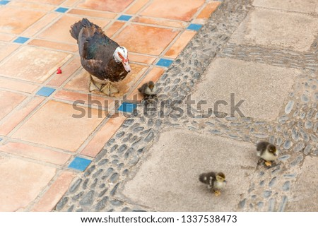 Tender Photo Of Mom Duck And Her Three Son Ducks Running Together