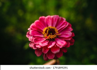 tender pink flower zinnia on the green background in summer day