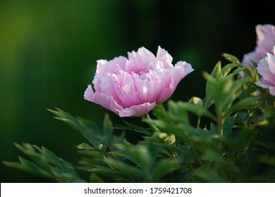Tender pink peony flower covered with dew in the soft ligth on the morning with flecks of light in the peatals
