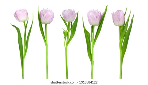 Tender pink tulips isolated on a white background